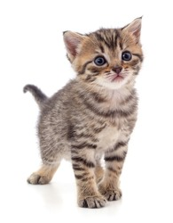 One small striped kitten isolated on a white background.