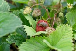 One snail destroy strawberry in summer garden as pest illustration. Big brown slug or derocera eat plants