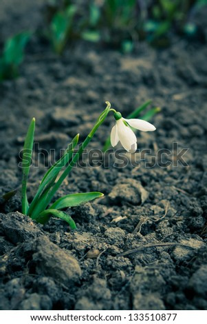 One snowdrop on the black soil background