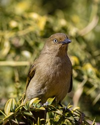 One sombre greenbul with bright eyes sitting on a branch in Addo National Park, South Africa