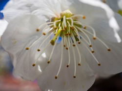 one sour cherry blossom macro capture. white petals, stamina and stigmata in and out of focus. spring blossom of fruit tree.