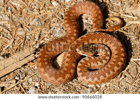 One specimen of Vipera berus, common European adder, photographed in nature