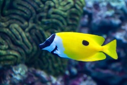 One spot foxface or Siganus unimaculatus finding algae to eat in coral reef