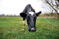 One spotted black and white cow grazes in a green meadow in the countryside. Autumn landscape with cattle. Home keeping of a dairy cow.