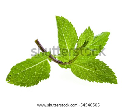 One sprig green mint close up isolated on white background