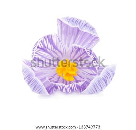 one spring crocus flower isolated white background