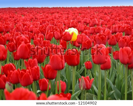 One striking yellow tulip in a sea of thousands of red tulips.