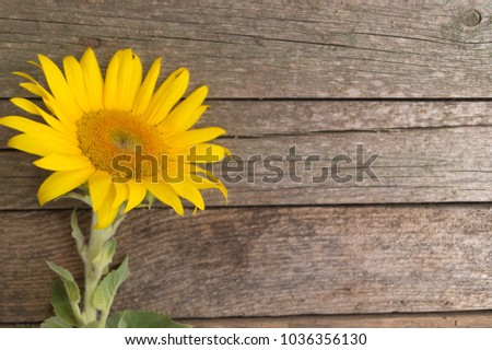 one sunflower on the old wooden ...