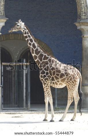 one tall giraffes in zoo - stock photo
