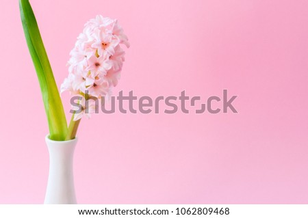 One tender hyacinth flower in vase on a pink background