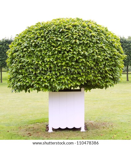 One topiary tree in white wooden tub