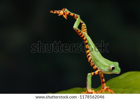 One very interesting moment in nature. Green frog up close. The frog jumps on a green leaf. Dark background.