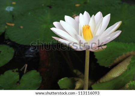one water lily or lotus in pool wonderful