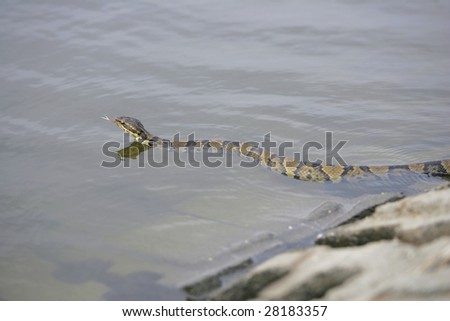 one water moccasin slithering on the walks near water