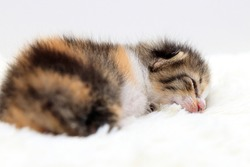 one week age of newborn kitten with long fur.