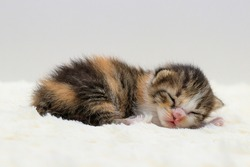 one week age of newborn kitten with long fur