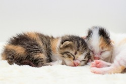 one week age of three colors newborn kitten with long fur