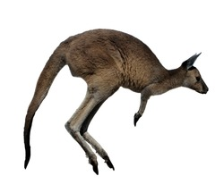 One Western Gray Kangaroo Jumping isolated on white background. No people. Copy space