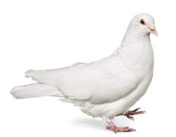 One  white Dove