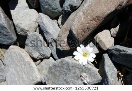 Free Photos White Mountain Flower Among The Rocks Avopix