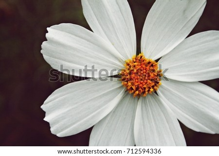 Free photos white flowers with yellow in middle avopix one white flower with yellow middle and 8 petals close up shooting 712594336 mightylinksfo