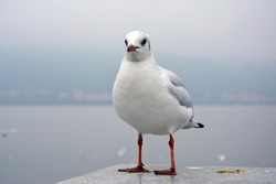 One white larus ridibundus with fat belly stands on the platform