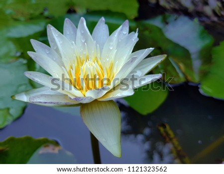 One white lotus flower with water drops on yellow pedals, growing on a pond. #1121323562