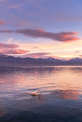 One white mute swan in the lake at the sunset. Bird in nature.