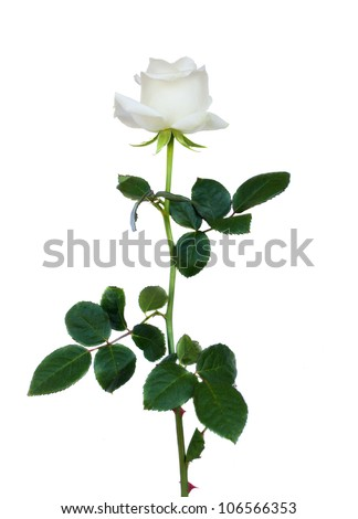 one white rose isolated on white background