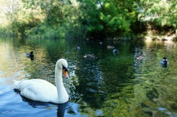 One white swan among ducks on shady river. Selective focus on white swan at corner of frame with space to add text on blurry water, ducks, green bushes in background. Sky & tree reflection on water.