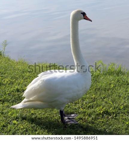 One white swan near a lake near the water #1495886951