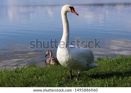One white swan near a lake near the water #1495886960