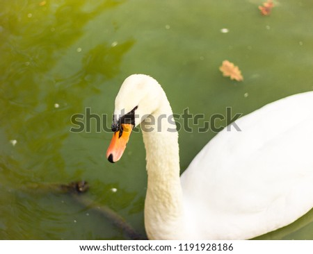 Stock Photo one white swan with a black spot on the face and an orange beak floating in the water, a swan in a green lake