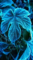 One wild leaf in hoarfrost. Frozen blue leaf close up, macro photography.