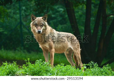 One wolf standing on green hillock and look at photograph.