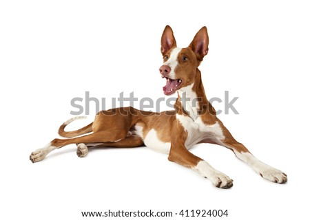 One year old Ibizan Hound (Podenco ibicenco) dog lying in front of white background 