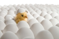 one yellow chicken nestling on many hen's-eggs, on white background,  isolated