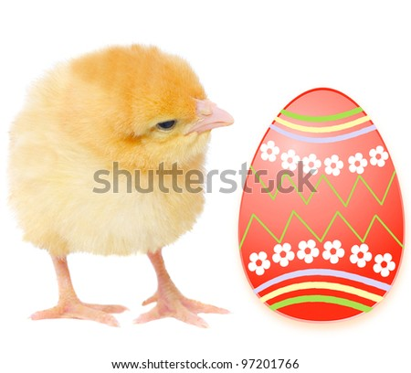 one yellow chicken with colorful egg, isolated on white