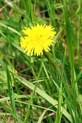 One yellow dandelion grows among green grass