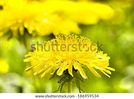 One yellow dandelion on green meadow closely. - Shutterstock ID 186959534