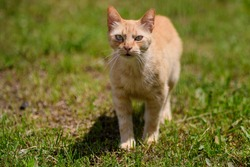 One yellow orange stray cat on a garden alley with green grass as blurred background