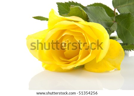 yellow rose flowers images. stock photo : One yellow rose