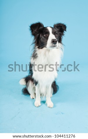 One young border collie dog isolated on light blue background. Studio shot.