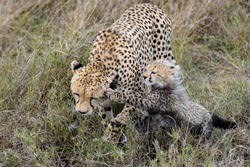 One young cheetah cub jumping and playing with its mother in the yellow grass.