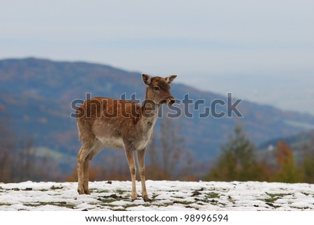 one young deer in the mountains in winter