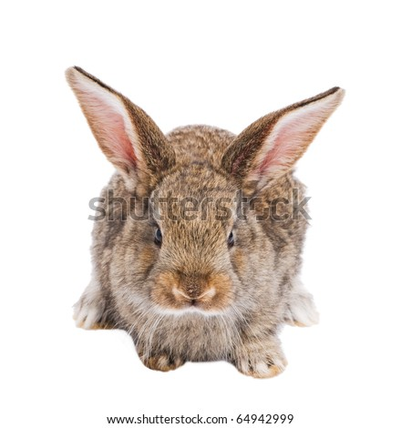 one young light brown rabbits with long ears sitting isolated on white