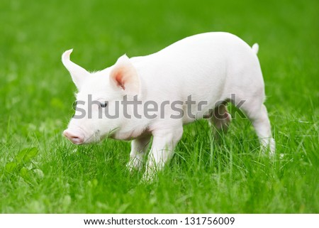 One young piglet on green grass at pig breeding farm - stock photo
