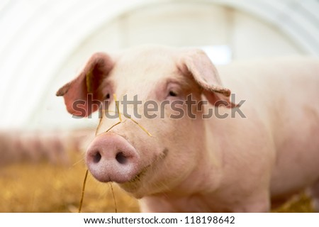 One young piglet on hay and straw at pig breeding farm #118198642
