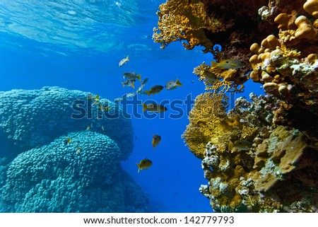 Onespot snapper on the coral reef