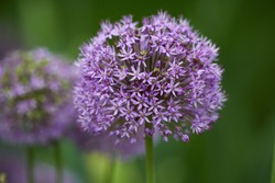 Onion Allium Gladiator. Lavender-blue florets with a sweet pungent scent create tight